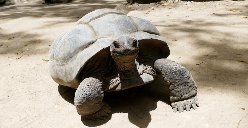 seychellerne kæmpeskildpadde
