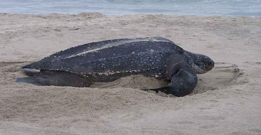 Lædderskildpadde